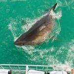 shark-diving-10