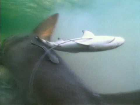 AMAZING: Lemon Shark Gives Birth