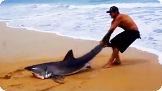 Brave man saves Great White Shark
