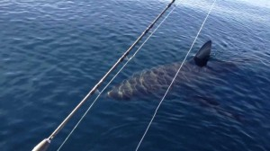 Great White Shark Stalks Boat