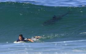 surfeur-requin